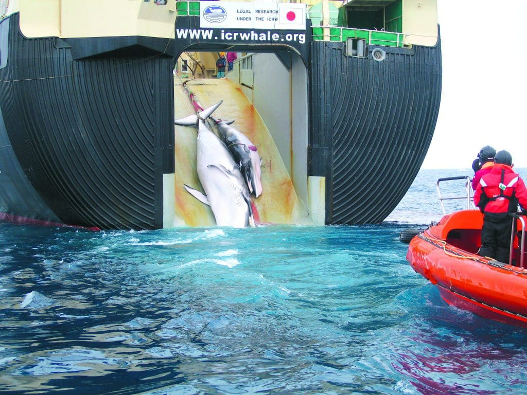 Japan begins commercial whaling
