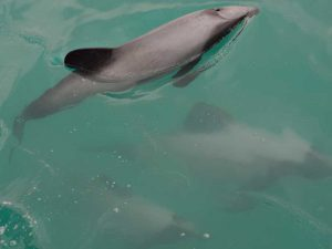Hector's dolphins in NZ