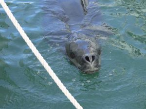 Leopard seal spotted in Auckland