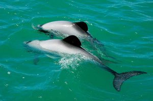 Saving Hector and Maui dolphins