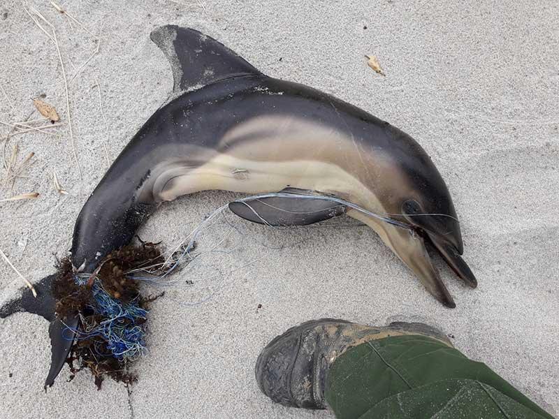 Dead-dolphin-calf-Tawharanui-beach