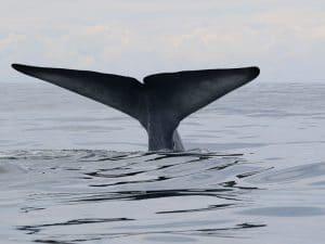Blue whale off South Taranaki