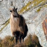 The clash over Himalayan tahr