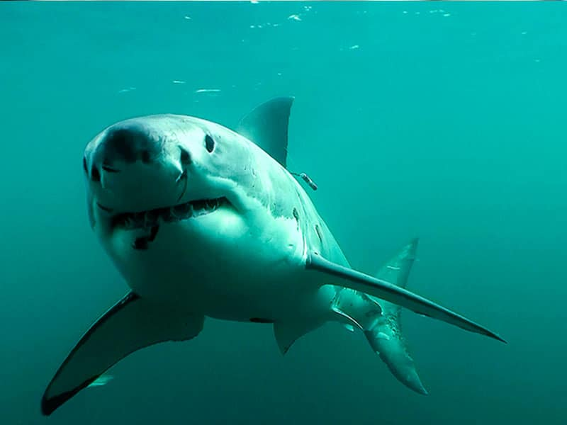Shark numbers decline